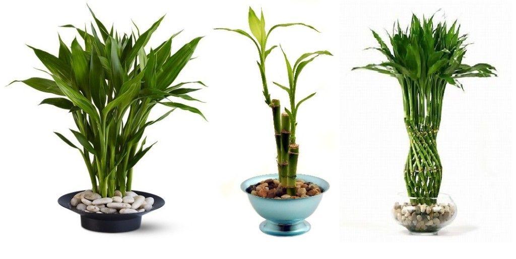 Bambus la ghiveci