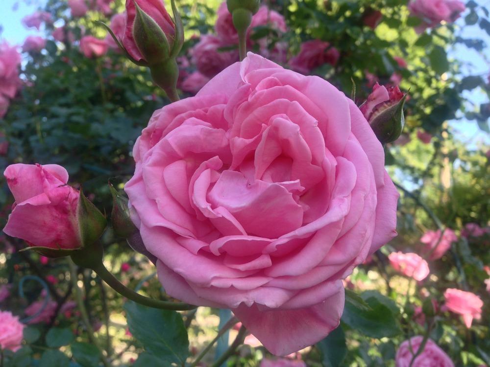 Trandafiri Coral Dawn