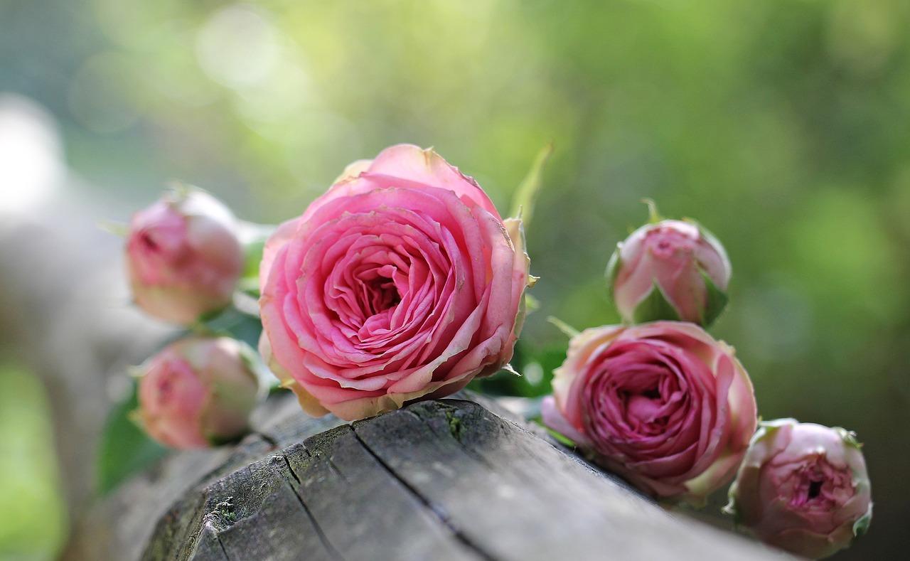 Butasirea trandafirilor