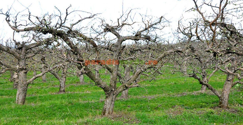 Dirijarea coroanei la pomi fructiferi