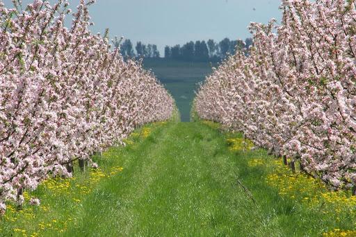 Distanta de plantare pomi fructiferi