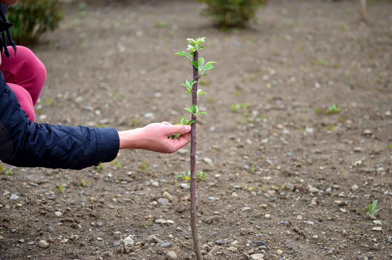 Ingrijirea pomilor fructiferi in primul an dupa plantare