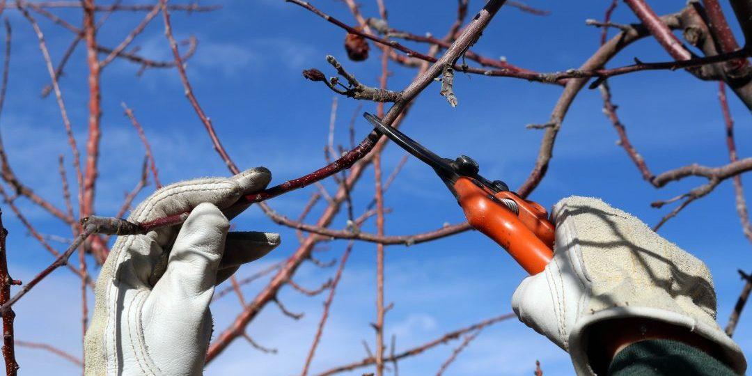Taieri de fructificare la pomii fructiferi