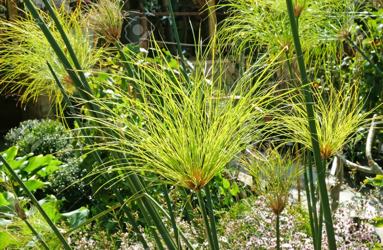 Cultivarea papirusului