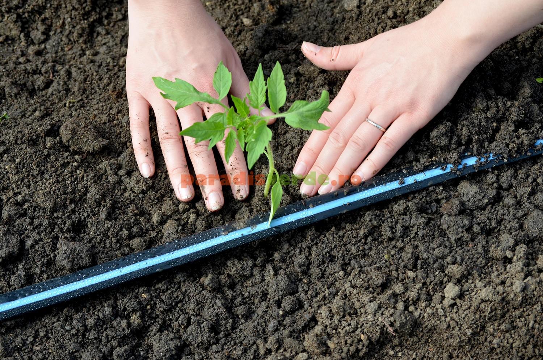 Plantarea rasadurilor
