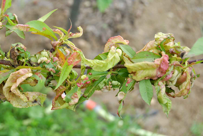 Basicarea frunzelor la piersic si nectarin