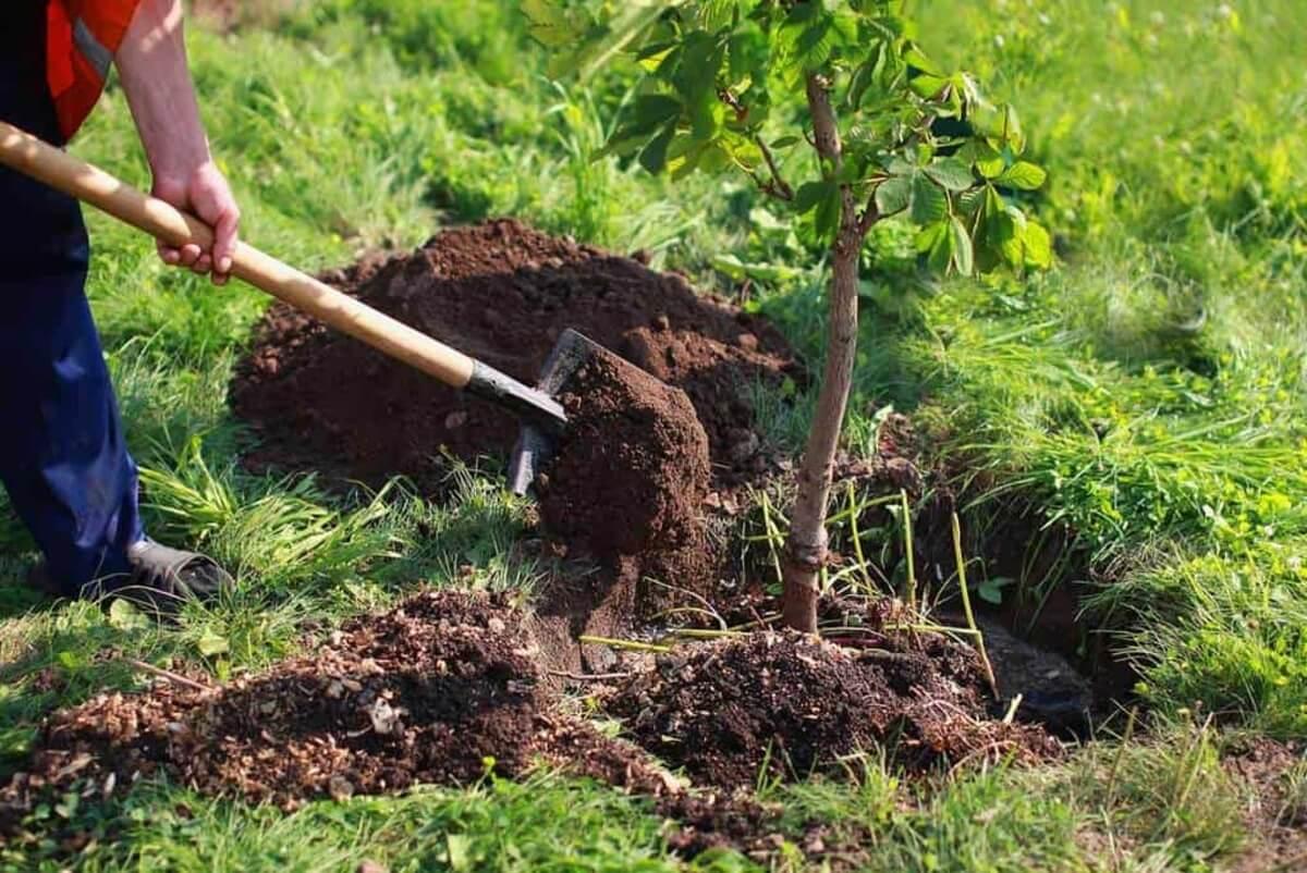 Plantari pomi fructiferi